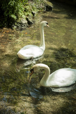 Swans Together On A Lake Stock Photo