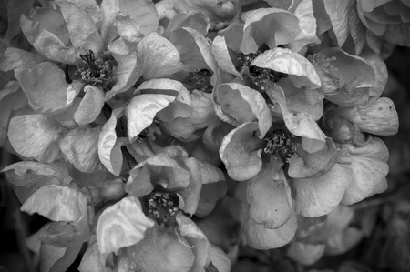 Black and White Spring Flowers  Stock Photo