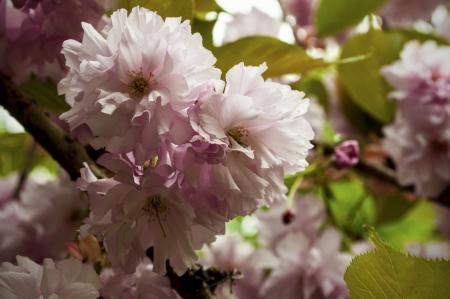 Pink Spring Flowers  Reklamní fotografie
