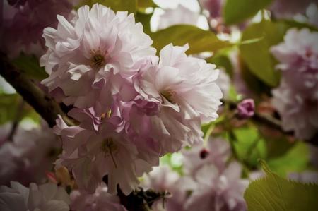 Różowy Farba Flowers Oil Wiosna