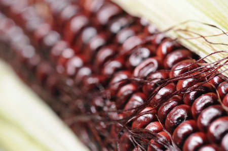 flint: Flint Corn sometime called Indian Corn, Close-up image