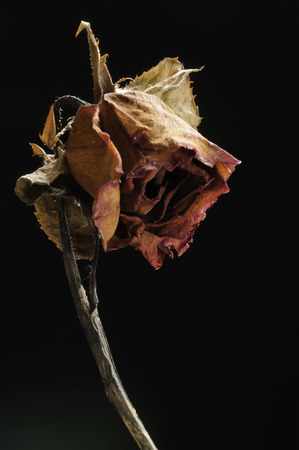 sorrowfully: Sadly rose dried flowers, isolated on black background