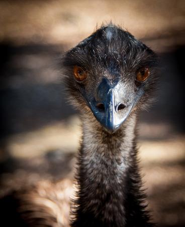 emu: Emu cabeza