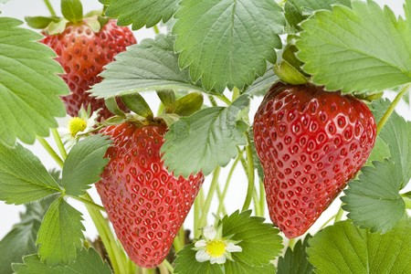 Close up of a strawberry plant with ripe strawberries