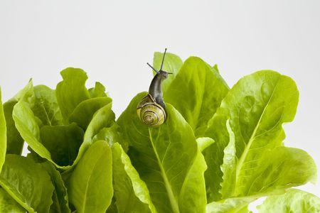 Snail crawling on fresh lettuce