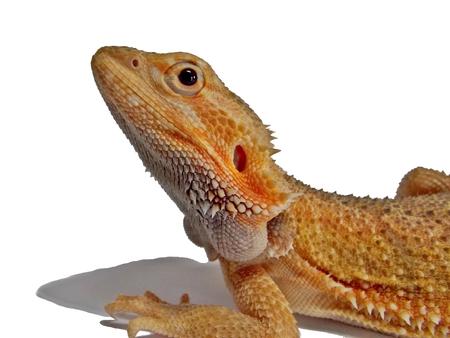 bearded dragon on white background Stock Photo