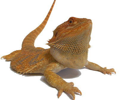 Bearded dragon (yellow) isolated on a white background