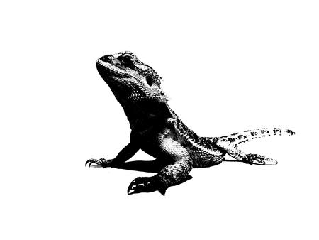 black and white bearded dragon illustration