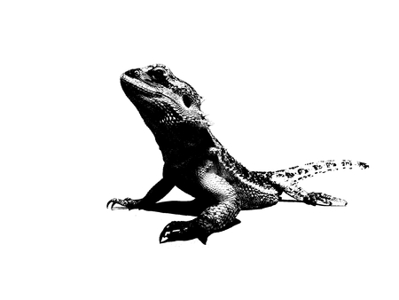 black and white bearded dragon illustration