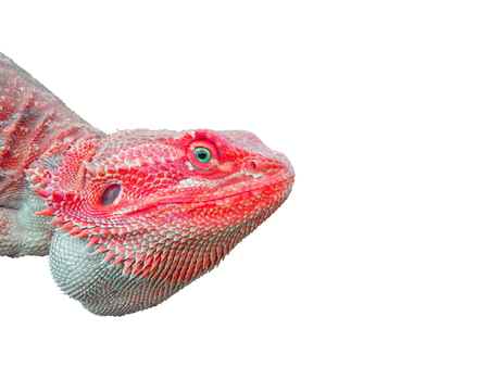 pink bearded dragon lizard with blue eyes Stock Photo