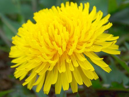 A macro shot of a yellow dandelion Stockfoto