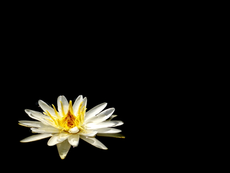 A white water lily (Nymphaea odorata) on a black background Stock Photo