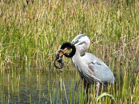 A Great Blue Heron (Ardea herodias) attempting to eat a water banded snake Stock Photo