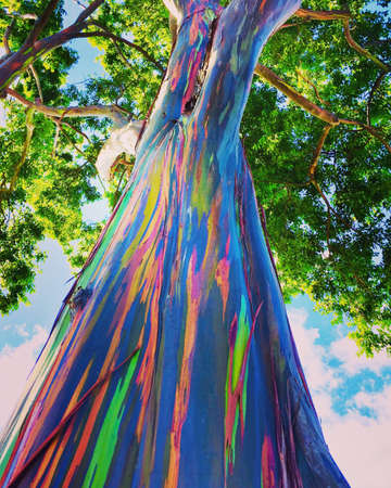 A rainbow eucalyptus tree (Eucalyptus deglupta) from O'ahu Hawaii AKA Mindanao gum trees and rainbow gum trees