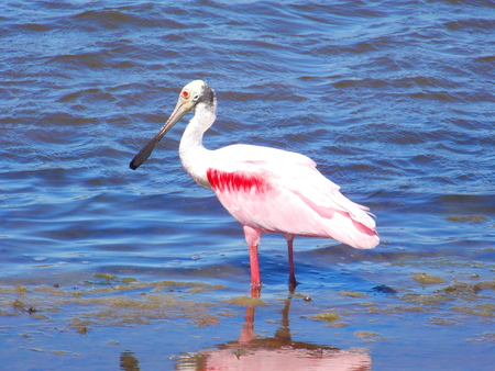 A Roseate spoonbill (Platalea ajaja) standing at the shore of a bayou