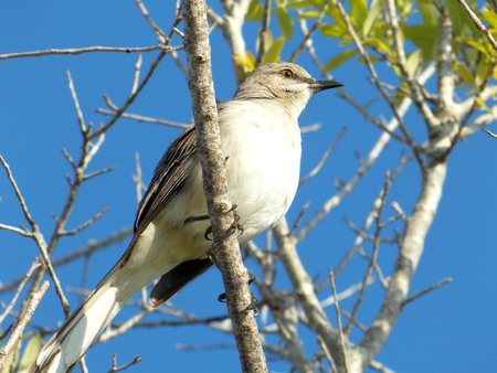 A northern mockingbird (Mimus polyglottos) resting on a small tree branch