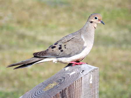 An American Mourning Dove (Zenaida macroura) standing on a fence post.