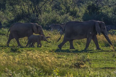 the game reserve: Elephant herd  in the wild at  the Welgevonden Game Reserve in South Africa