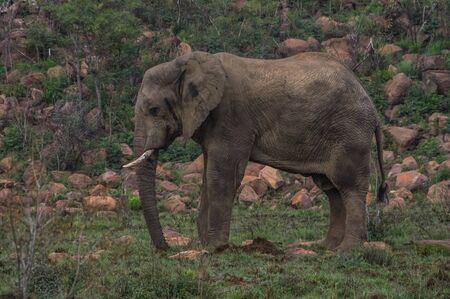 the game reserve: Elephant in the wild at  the Welgevonden Game Reserve in South Africa