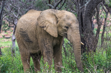 pachyderm: Elephant in the wild at  the Welgevonden Game Reserve in South Africa