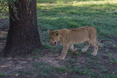 instincts: African Lion cub resting and eating a midday meal