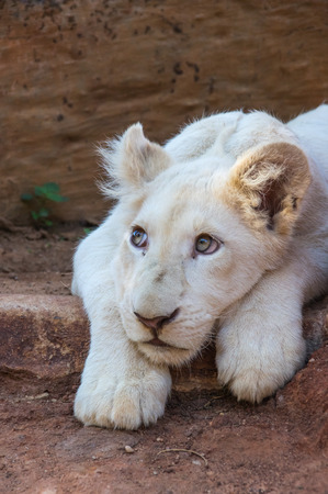 instincts: African White Lion cubs relax in the midday sun