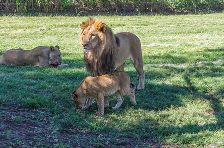 instincts: The African Lion is the top predator in the African wild