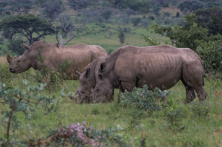 the game reserve: Rhinoceros grazing in the Weldgevonden Game Reserve in South Africa