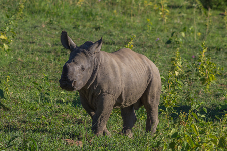 toed: Rhinoceros grazing in the Weldgevonden Game Reserve in South Africa