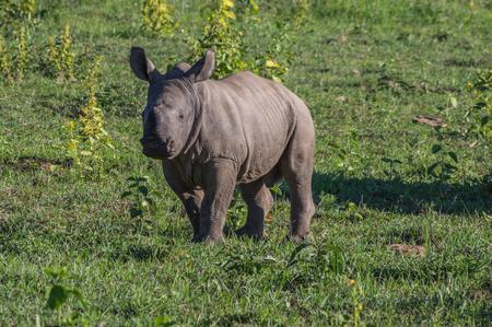 savannas: Rhinoceros grazing in the Weldgevonden Game Reserve in South Africa