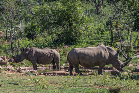 the game reserve: Southern White Rhinoceros grazing in the Weldgevonden Game Reserve in South Africa Stock Photo