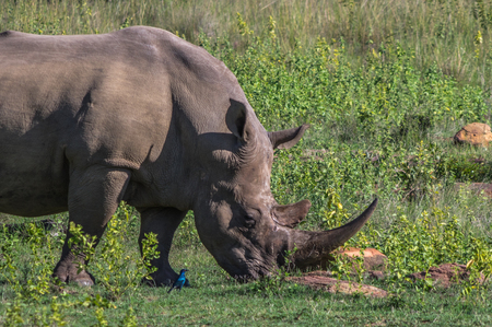 savannas: Southern White Rhinoceros grazing in the Weldgevonden Game Reserve in South Africa Stock Photo