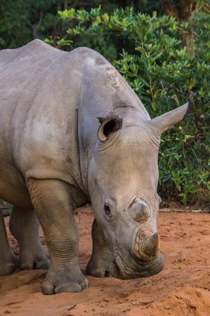 savannas: Southern White Rhinoceros sleeping in the Weldgevonden Game Reserve in South Africa