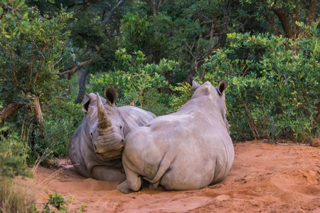 the game reserve: Southern White Rhinoceros sleeping in the Weldgevonden Game Reserve in South Africa