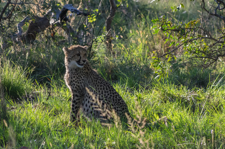 throughout: South African Cheetah ranges throughout the Welgevonden Game Reserve in South Africa Stock Photo