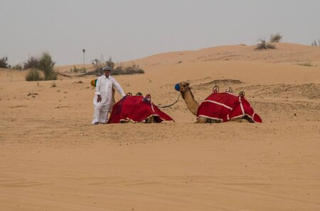 global city: Dubai United Arab Emirates 15 May 2014 Camel rides  in the  deserts  of Dubai the global city  of UAE