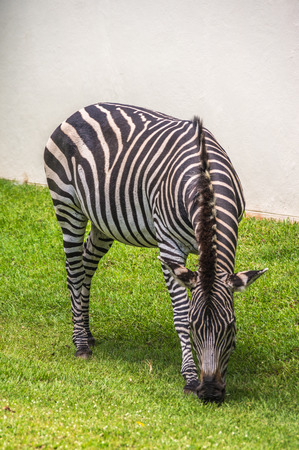 throughout: Zebras graze and walk throughout the Zambezi National Park