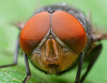 Macro-opname van een vlieg het hoofd.