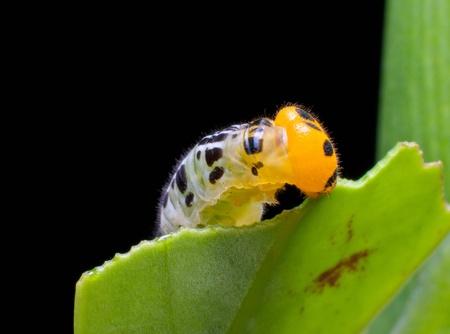 voracious: Caterpillar feeding