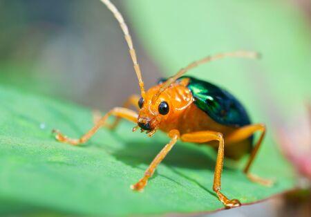 escarabajo: Escarabajo bombardero (Brachinus alternancia)