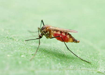 malaria: mosquito full of blood on leaf Stock Photo