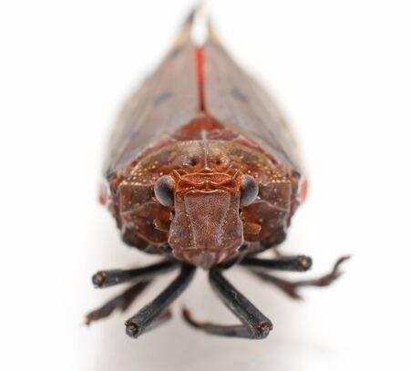 compound eyes: leaf hopper on white background