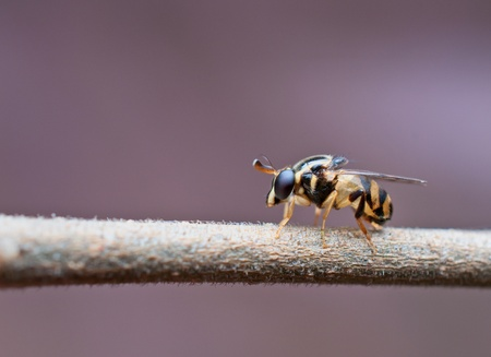 syrphid fly: syrphid fly on plant twig