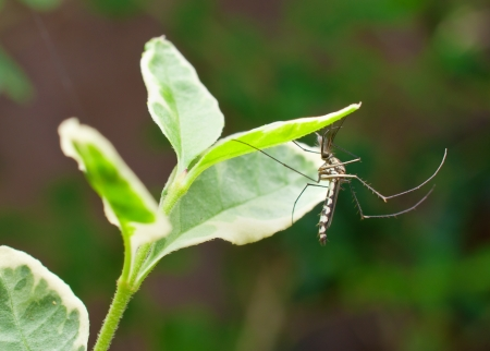 mosquito resting on leaf photo