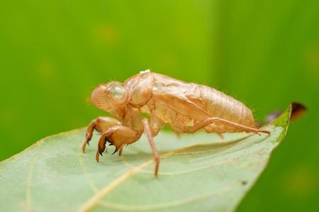 cicada bug: cicada exoskeleton on leaf Stock Photo