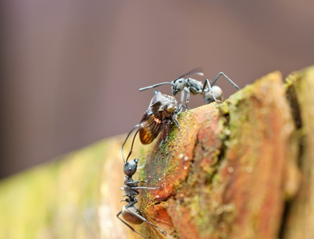 hopper: two black ants taunting a leaf hopper Stock Photo