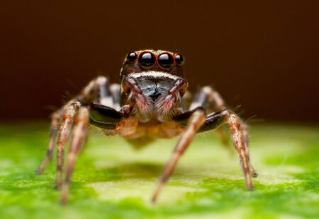 critter: jumper spider close up Stock Photo