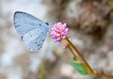 spring azure butterfly  celastrina ladon  collecting nectar Stock Photo - 17207022