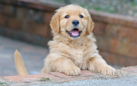 closeup puppy: cute golden retriever puppy
