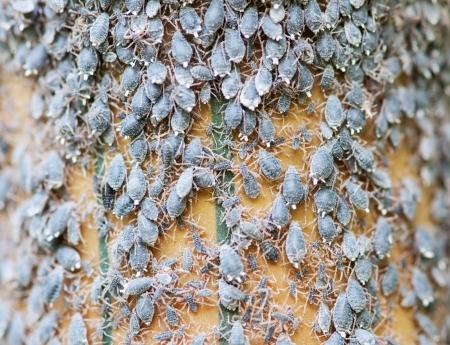 piojos: colonia de pulgones (piojos de las plantas) Foto de archivo